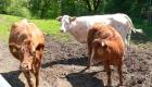 feigl-niederbayern-bauernhofurlaub-kühe-weide-kälber
